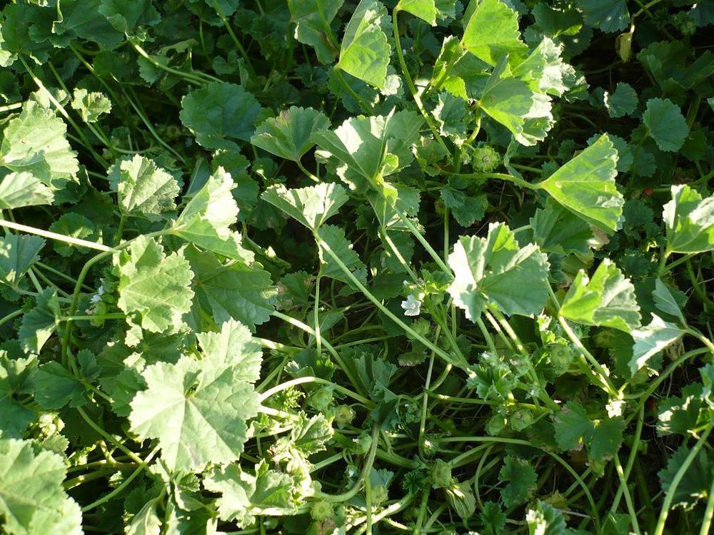 растение сергибус фото
