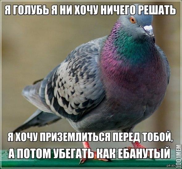 прикол голубь доносчик картинка многие