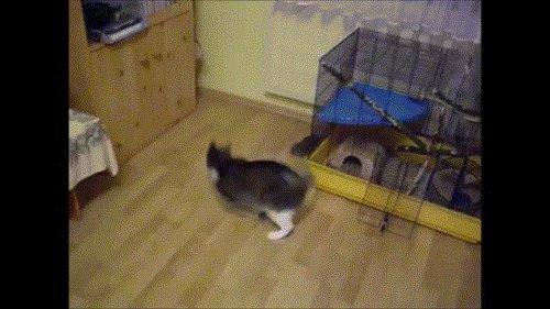 Кот и дегу Дегу - чилийская белка, грызун.