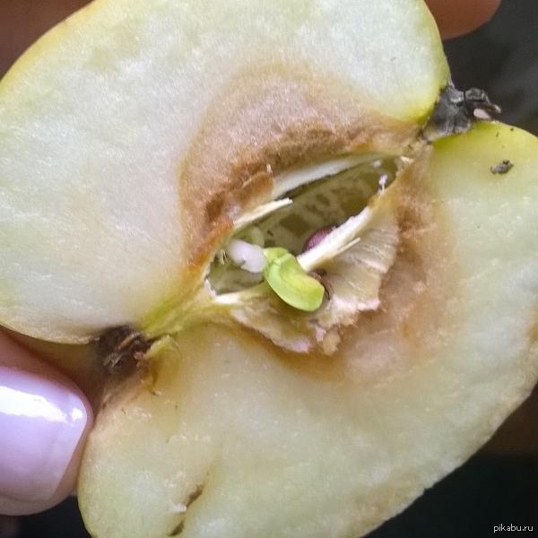 Яблоко в яблоке Купили в супермаркете яблоко - внешне абсолютно нормальное, разрезала его, а там семечки проросли. о_о