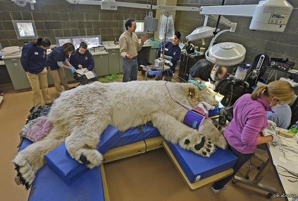 Полярный медведь Борис 27-летний полярный медведь Борис под наркозом. Ему проводят полное медицинское обследование перед операцией на зубы и глаза в ветеринарной клинике.