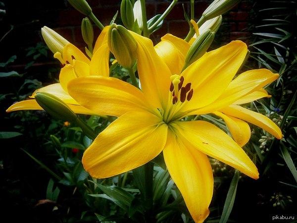 Красота:) Какая красота расцвела в моем садике:)