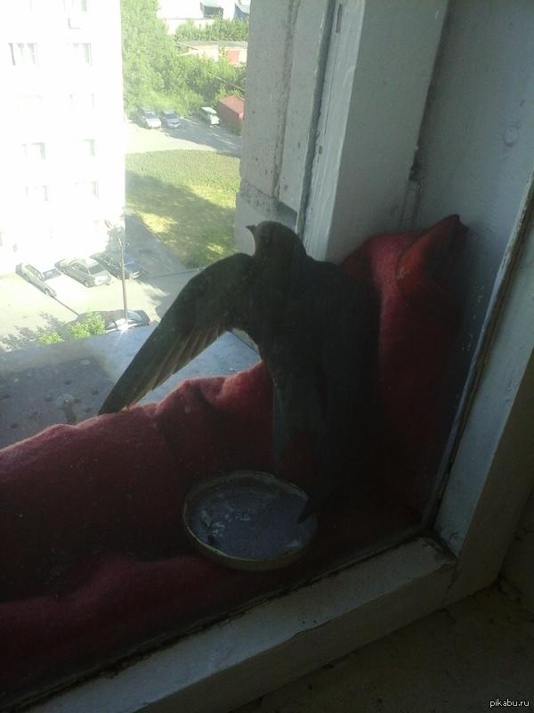 How to Train Your Birds. Вот такой гость случайно посетил меня, застряв между окнами. Сам он взлететь не смог, пришлось спасать. Чувствовал себя Иккингом, встретившим Беззубика :)