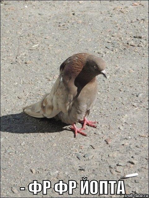 горбатый голубь)