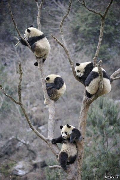 Панды прилетели) Панды отдыхают на дереве)