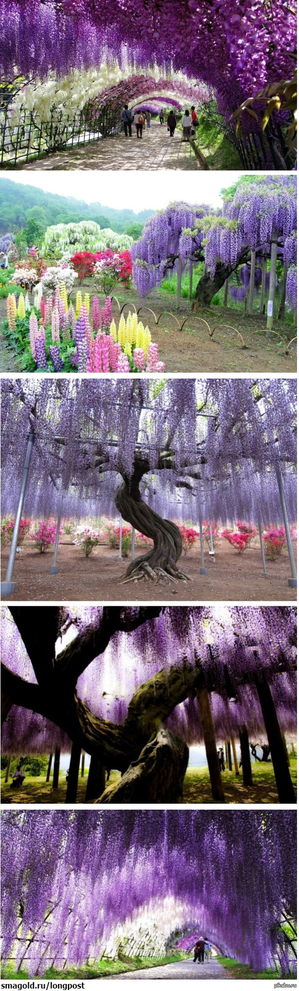 Тоннель глициний в японском саду цветов Сад называется Кавати Фудзи, находится в 4х часах езды от Токио