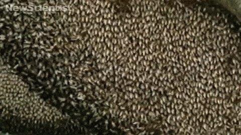 Азиатские пчелы отпугивают врагов пуская волну Описание, гифка и видео внутри