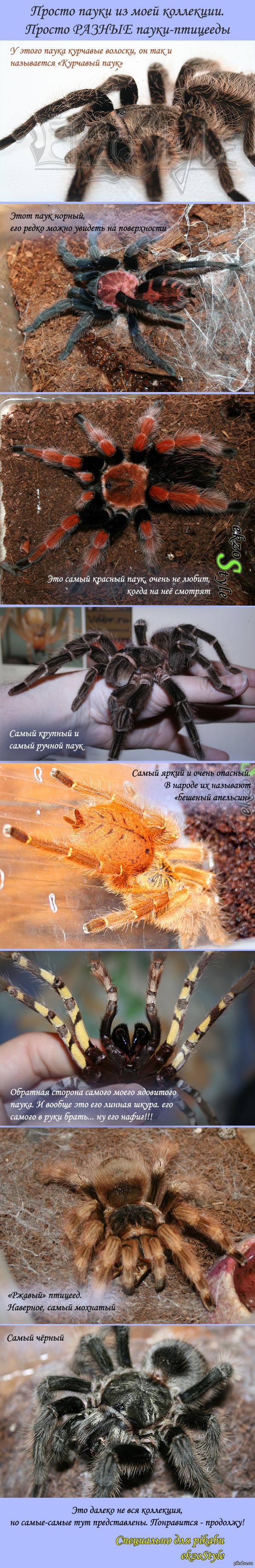 А вы боитесь пауков? Когда-то оказалось, что птицееды очень разнообразны и по-своему интересны. Смотрите сами...