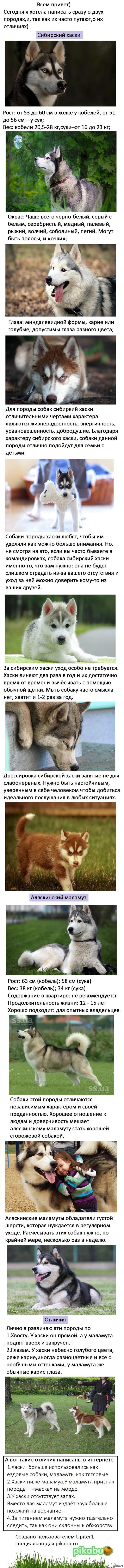Подробно о породе. Сибирская лайка и аляскинский маламут. Сравнение