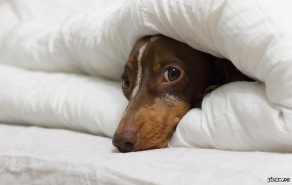 Пятничная такса в одеялах