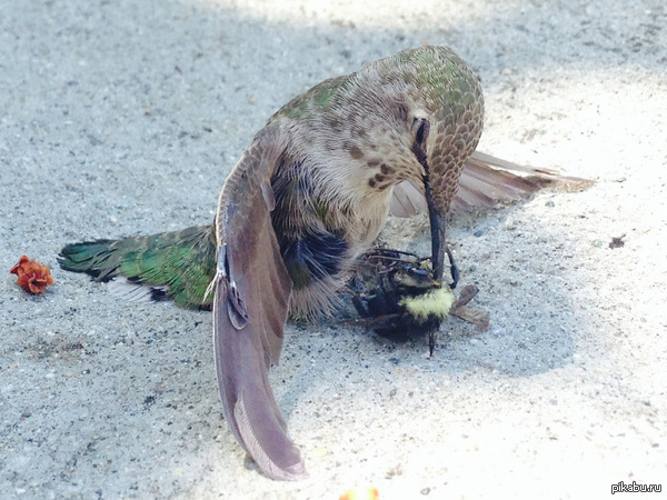 Во время полета колибри столкнулся с пчелой, результат - насаженное на клюв насекомое.