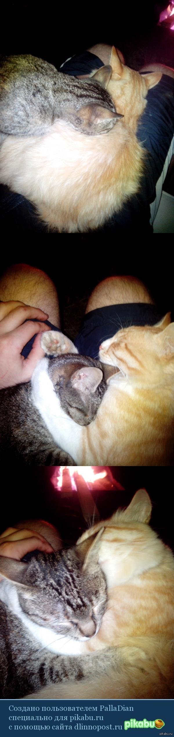 коты обнимаются ) сидел у костра ночью воле дома, залезли на меня и давай обниматься. рыжий - самец)