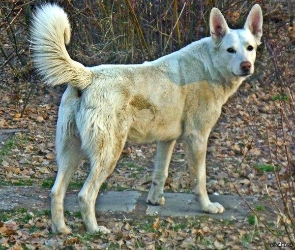 Вожак местной стаи бродячих собак. Я называю его Gwynbleidd. Говорят, он спас кому-то жизнь. Его подкармливали в одной мясной лавке. Больше года как исчез.