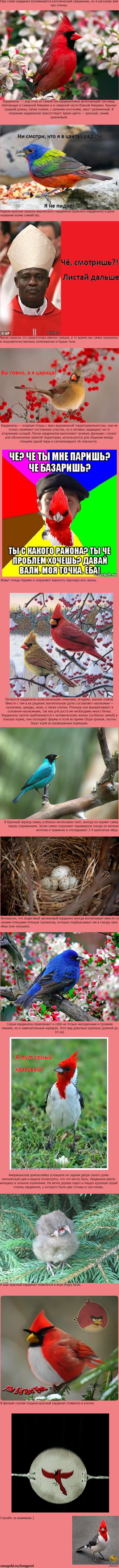 Птица кардинал, отличается красотой и сообразительностью.   А так же очень не любит свиней )