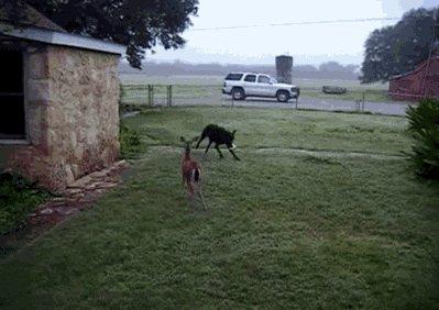 Собака играет с маленьким олененком