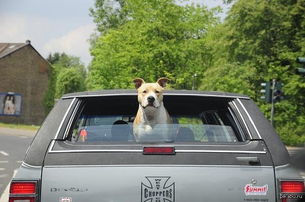автомобиль, собака