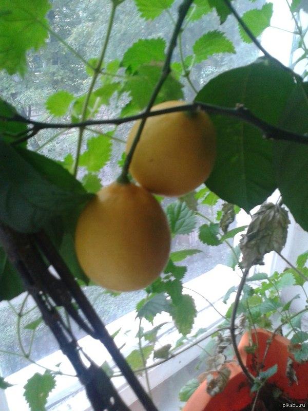 У меня дома выросли лимончики:3 Посадил год назад саженец в ведро, и вот что из этого получилось. Я удивлен, если учесть погодные условия Калининграда
