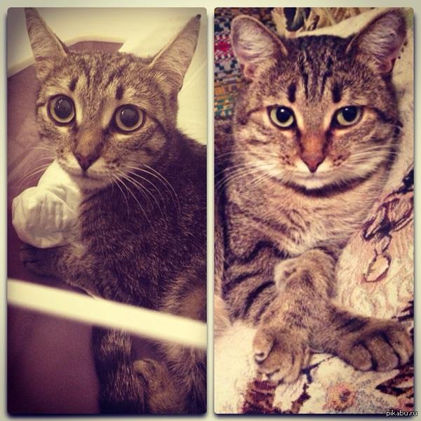 До и после Наша кошка в первый день, когда мы ее взяли с улицы, и спустя два месяца домашней жизни. Правда ей идут щечки?:)
