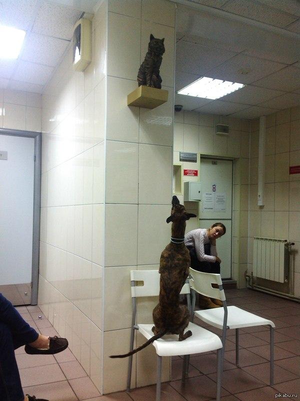 В очереди к ветеринару . Эта чья-то трусиха-борзая скулила все время, а когда ей таки дали спрыгнуть с хозяйских рук, она стала охотиться на БРОНЗОВУЮ КОШКУ! Причем долго и с интересом!