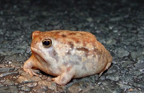 Это африканская дождевая лягушка. По няшности она почти сравнилась с котиками)