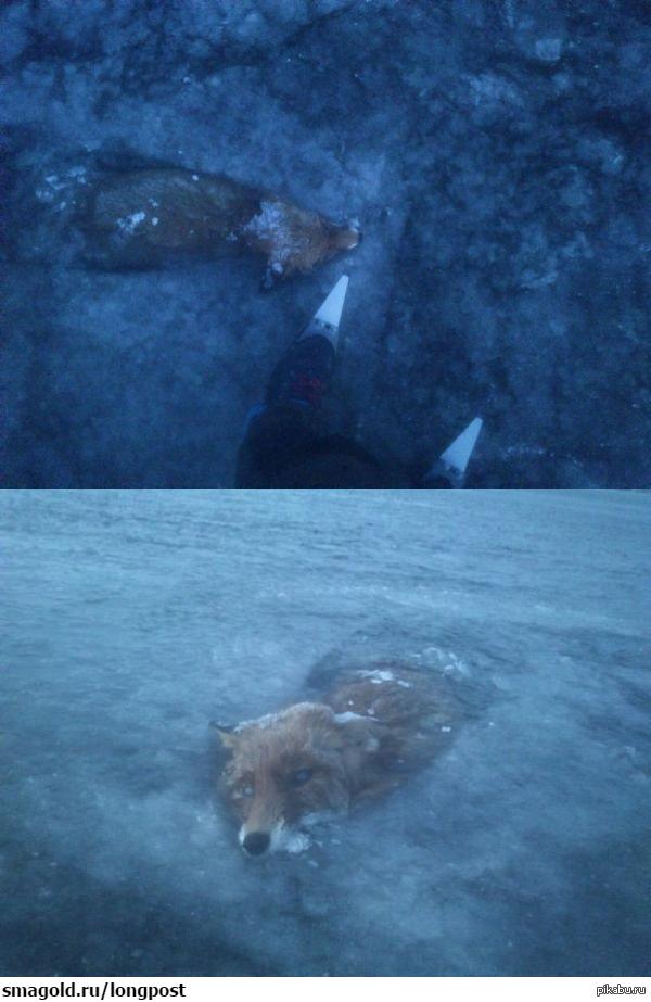 Лиса решила переплыть речку, но мороз оказался сильнее.