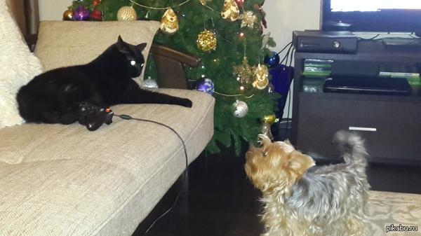 Противостояние Собака нападает на кота при каждом взрыве петарды, кот в шоке, устал отбиваться) Так и живут как кошка с собакой) Всех с наступающим, всем мира и добра!