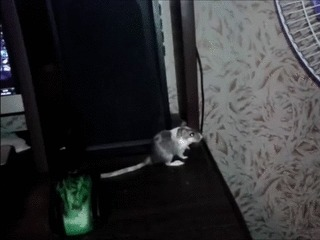 Акробатка Обычно просто бегала по столу, а тут решила покорить новые высоты =)