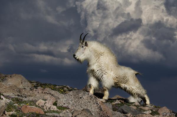 Величественный горный козел Oreamnos americanus