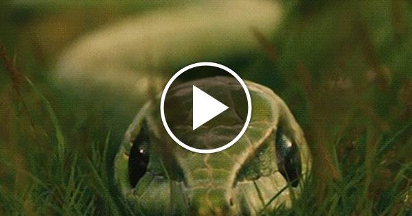 Линька змеи гифка