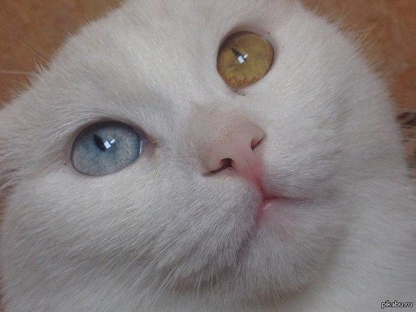 Не удержался и тоже кота выкладываю. Наш глухой и безумный Белёк. Единственное нормальное фото, в остальное время с открытыми глазами поймать кадр невозможно.