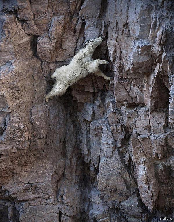 Горный козёл - лучший альпинист в мире!