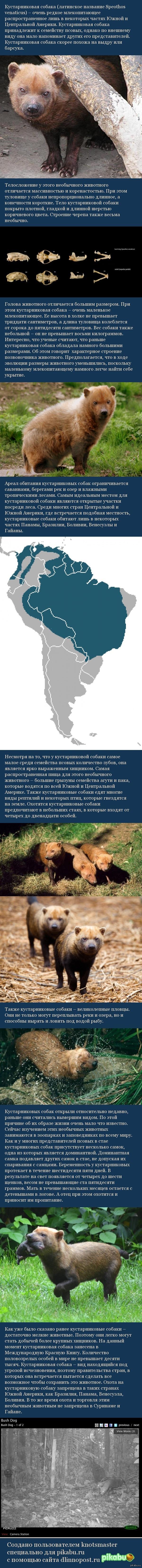 Кустарниковая собака Самая несобакистая собака