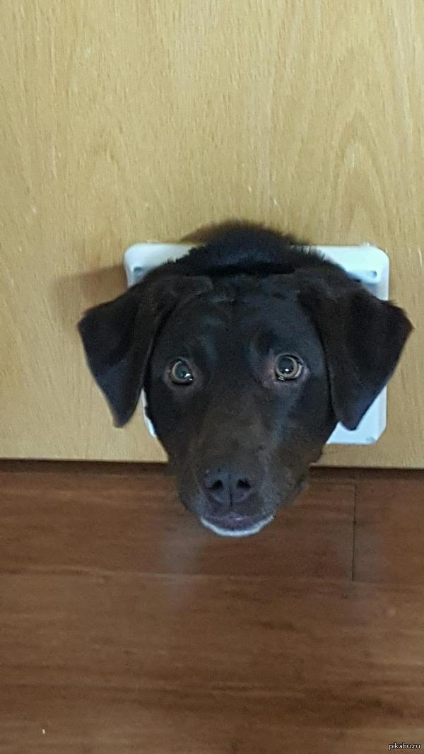 Сделал дверцу для коте а лезет собакен