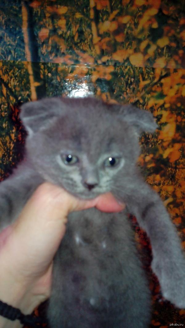 Какая милашка! Согласны? ) Сейчас котенок. 2 месяца. Живет со мной. Порода не известна, но ушки висят. ) Зовут Соня. Имя отрабатывает на сто процентов. ) Поймать в кадр не реально.