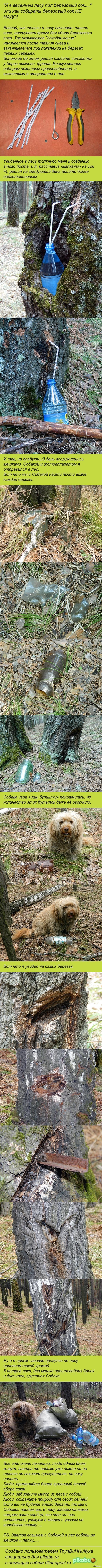 Сбор березового сока с Собакой и мешками.