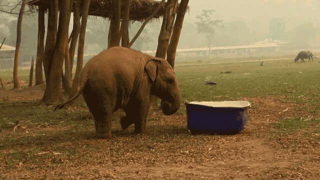 Слоненок играется с тазиком