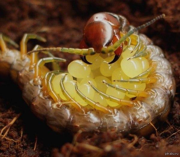 Смешные картинки про сколопендру
