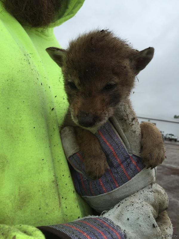 """""""мой друг нашёл щенка койота на работе"""""""