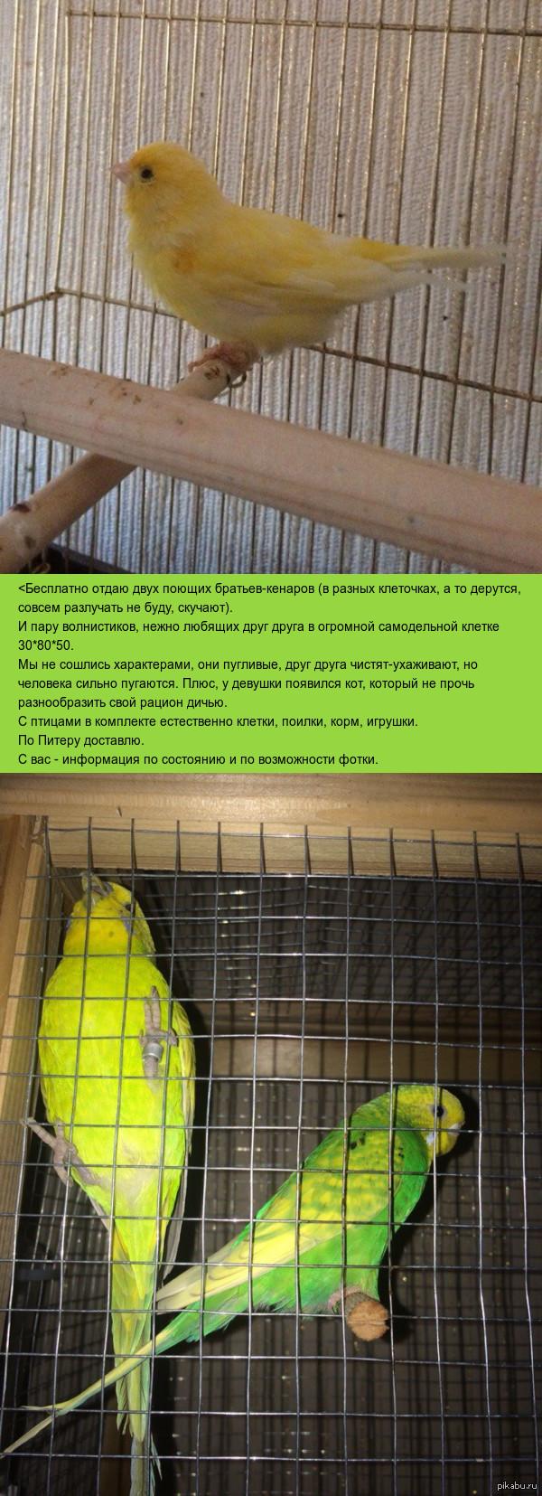 Отдаю в хорошие руки птиц. Петербург. Волнистые попугаи и кенары.