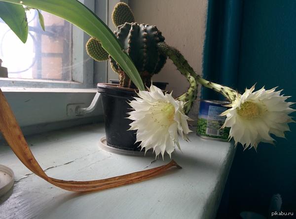 А у нас кактус расцвел В дальнем углу грязного, пыльного подъезда вдруг такая красота.