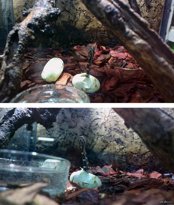 С днём рождения, змейка! Сегодня я наблюдала, как вылупляется маисовый полоз.