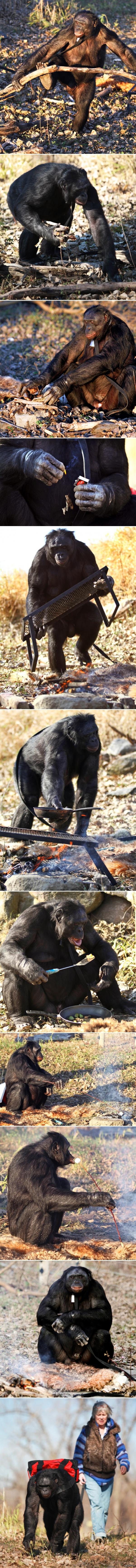Шимпанзе Бонобо умеют разводить огонь и готовить на нем еду Скоро научатся работать дворниками, бухать и материться (главное чтоб лезгинку не научились танцевать). в коментах видео