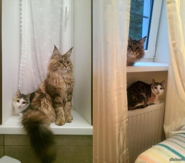 """Котик немного подросла и обзавелась подругой. Подруга - адаптированная уличная кошка, у неё проблемы со слухом.  <a href=""""http://pikabu.ru/story/teper_i_u_menya_est_kotik_3305855"""">http://pikabu.ru/story/_3305855</a>"""