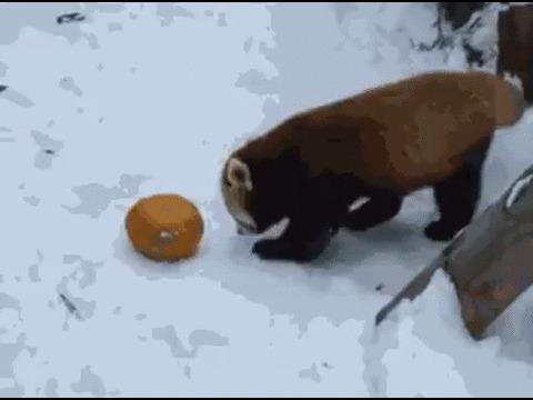 Малую панду жестоко избила ... тыква :)