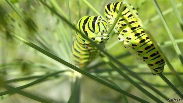 Фотогеничные гусенички продолжение в комментариях