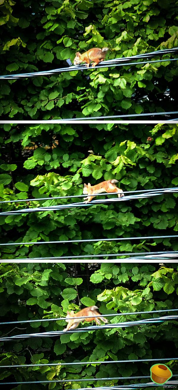 Белка.. Сижу, смотрю в окно - ничего необычного. И тут пробегает белка без хвоста...БЕЗ ХВОСТА, КАРЛ!