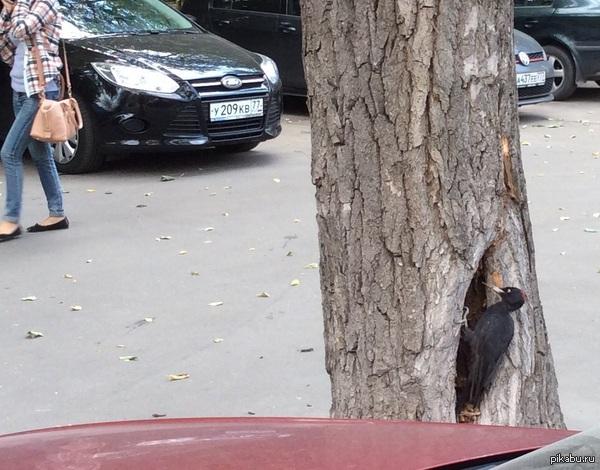Ремонт на первом этаже Вот такую птичку встретила на парковке в Москве. Рядом шоссе, люди, дети и машины выезжают прямо мимо него - сидел, долбил.