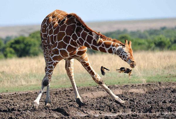 Жираф чихает