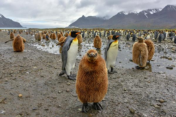 """""""Как вам мои волосы?"""" Фотограф Мишель Валберг и её волосатый пингвин)"""