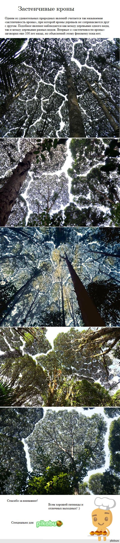 """Природа любит удивлять - """"застенчивость кроны"""" Где же этот лес притаился?"""